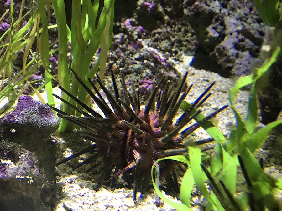 Sea urchin in its aquatic habitat
